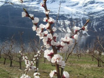 Apricot trees in blossom. Hardanger, Norway. (Photo: Mekjell Meland)