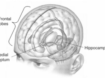 In an attempt to cure his severe and debilitating epilepsy, H.M.'s surgeons removed vital parts of his brain, including the hippocampus. (Illustration: Wikimedia Commons)