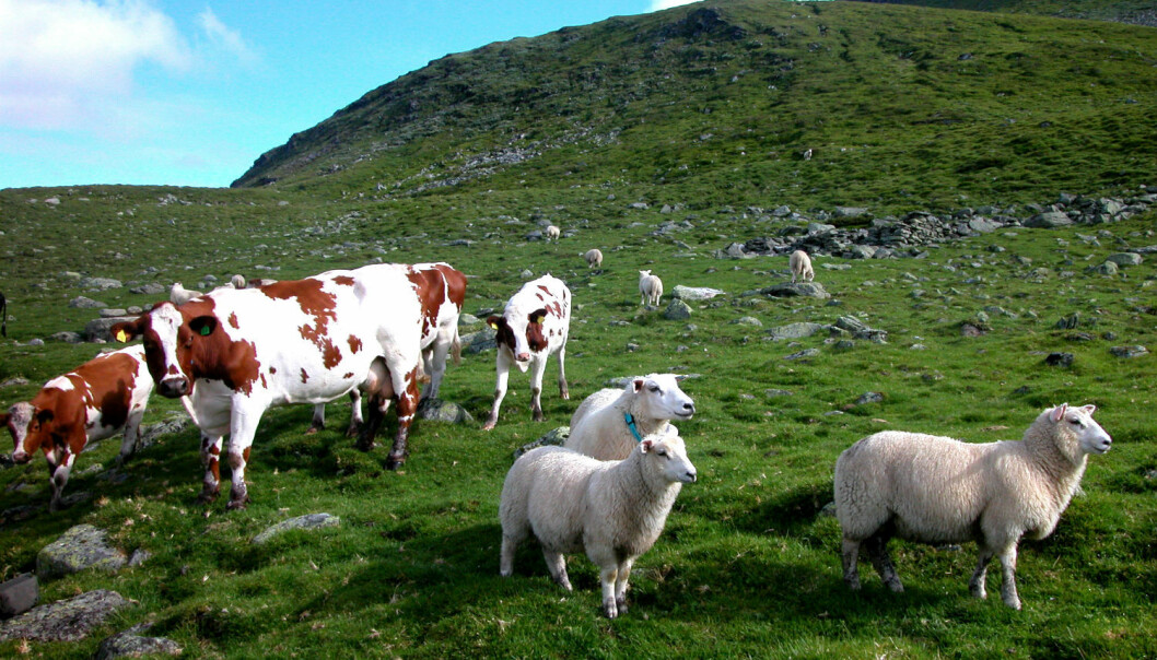 A Norwegian study provides strong indications that foot rot bacteria found in sheep infect cows grazing on the same pasture. (Photo: Berit Keilen/Scanpix)