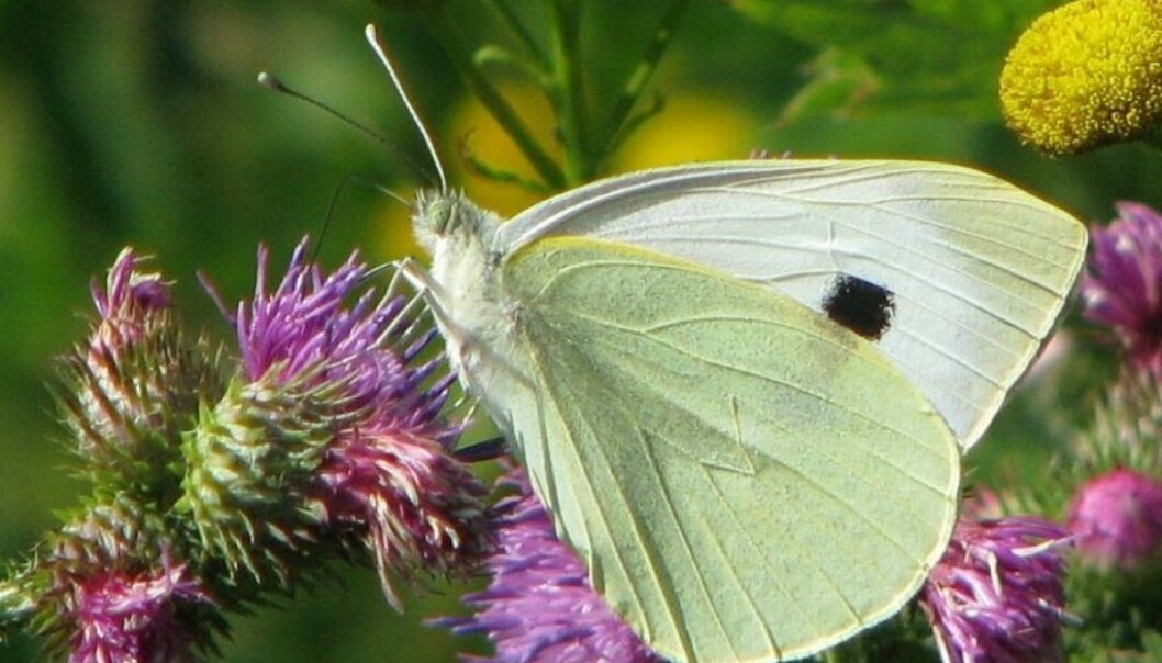 "Some 5,000 fresh observations are added daily to the website artsobservasjoner.no. This Cabbage Butterfly was added as number 100,000 in database for invertebrates, popularly labelled under the heading of ""creepy-crawlies"". (Photo: Magne Flåten)"