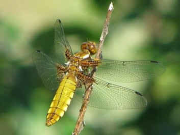 Many types of dragonflies are threatened with extinction in Norway. This Broad-Bodied Chaser is one of them. (Photo: Magne Flåten)