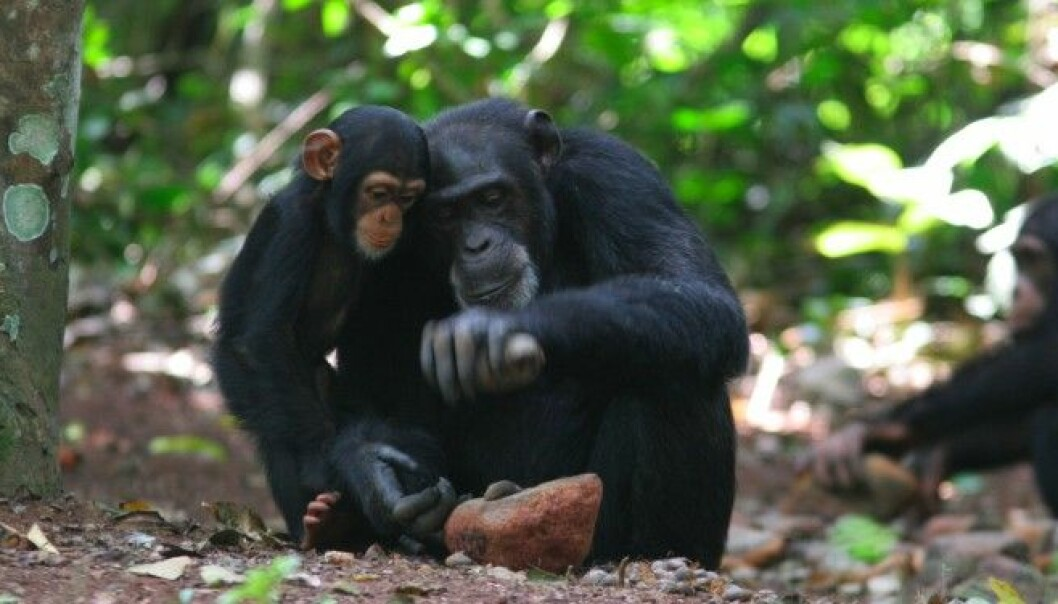 A chimpanzee mother in Africa cracking open nuts with a stone tool. (Photo: Etsuko Nogami)