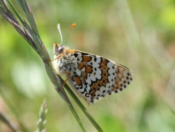 The Glanville Fritillary is one of the rarest butterflies in Norway. It is red-listed and found in just a few spots in the Oslo Fjord. (Photo: Magne Flåten)
