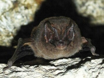 Everyone thought the barbasetelle bat was extinct in Norway. But then this fellow turned up in a tunnel in Larvik in 2008. (Photo: Tormod Røed)