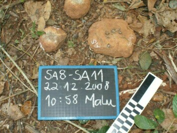 Stone tools that wild chimpanzees have used as hammers. (Photo: Susana Carvalho)
