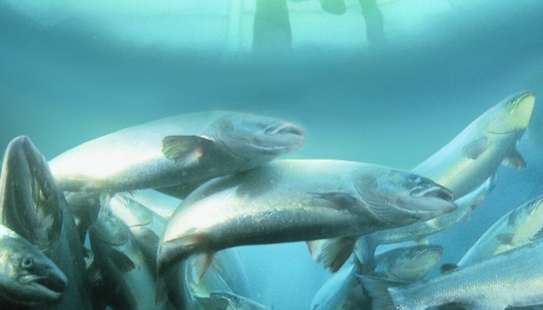 The five-year project is the largest research collaboration ever carried out between the salmon-producing countries of Canada, Chile and Norway. The sequence is now being made available to the global research community and industry alike. (Photo: Marine Harvest)