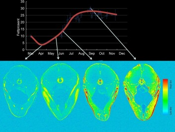Top: The amount of fat in mackerel changes during the year. Bottom: These MRI scans show how fat disperses into the fish. In September and October (when the Japanese like to eat Norwegian  mackerel), the healthy fish fat is found throughout the fish. (Illustration: NIFES)