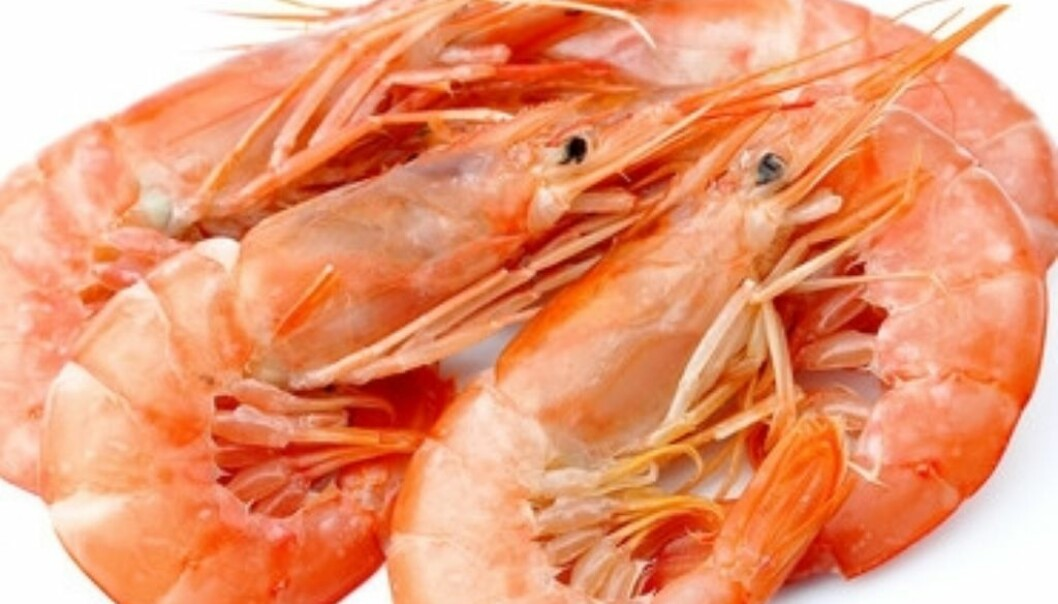 Stocks of prawns in the Skagerrak have been insubstantial for years. But the stock now appears to be making headway. (Photo: Microstock)