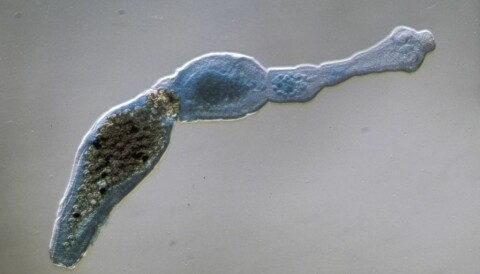 Tapeworm Parasite >> Scientists Worry About Parasite Hosted By Foxes
