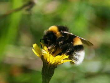 Bumblebees are one of the indicators of biodiversity. (Photo: Emma Mary Garlant)