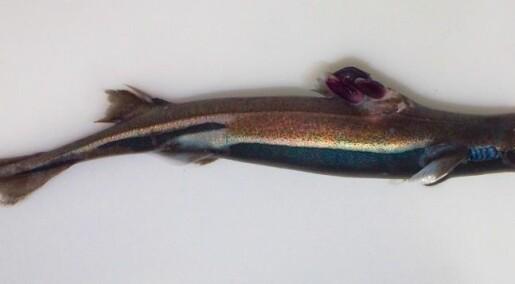 Missing link found on sharks