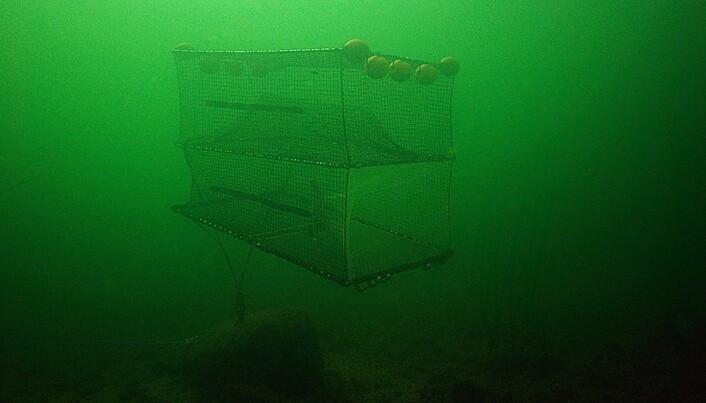 Catching Atlantic cod in green light