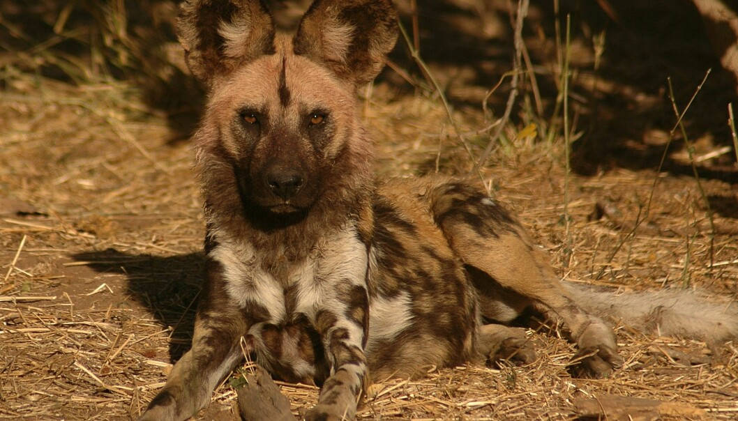 Africa's endangered wild dogs are clever and can thwart any fence if they want to. That has caused problems for the rapidly dwindling population. (Photo: Craig R. Jackson)