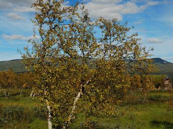 Mountain birch. (Photo: Ankara, Wikipedia)
