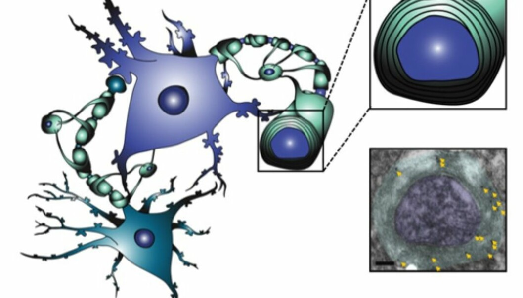 A bluegreen nerve cell contacting a blue nerve cell. In the upper right image, the insulation material is coloured green. The lower right image is taken from the electron microscope. The arrows point at dots representing NAA in the isolation material. (Illustration: Kaja Nordengen)