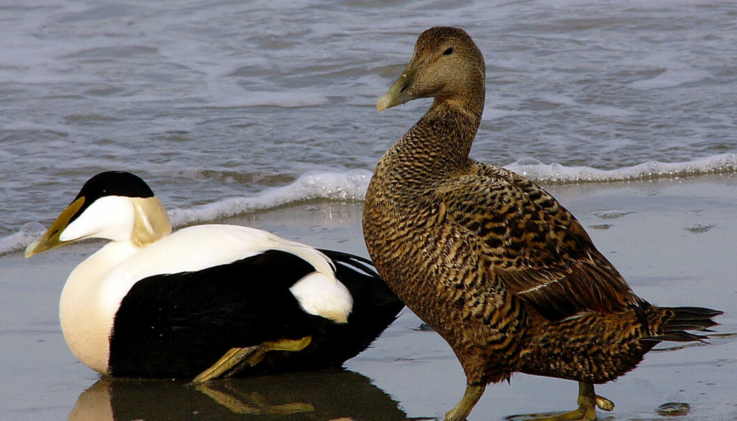 Common eider. Adult male left, female right. (Photo: Andreas Trepte, made available by Wikimedia Commons)