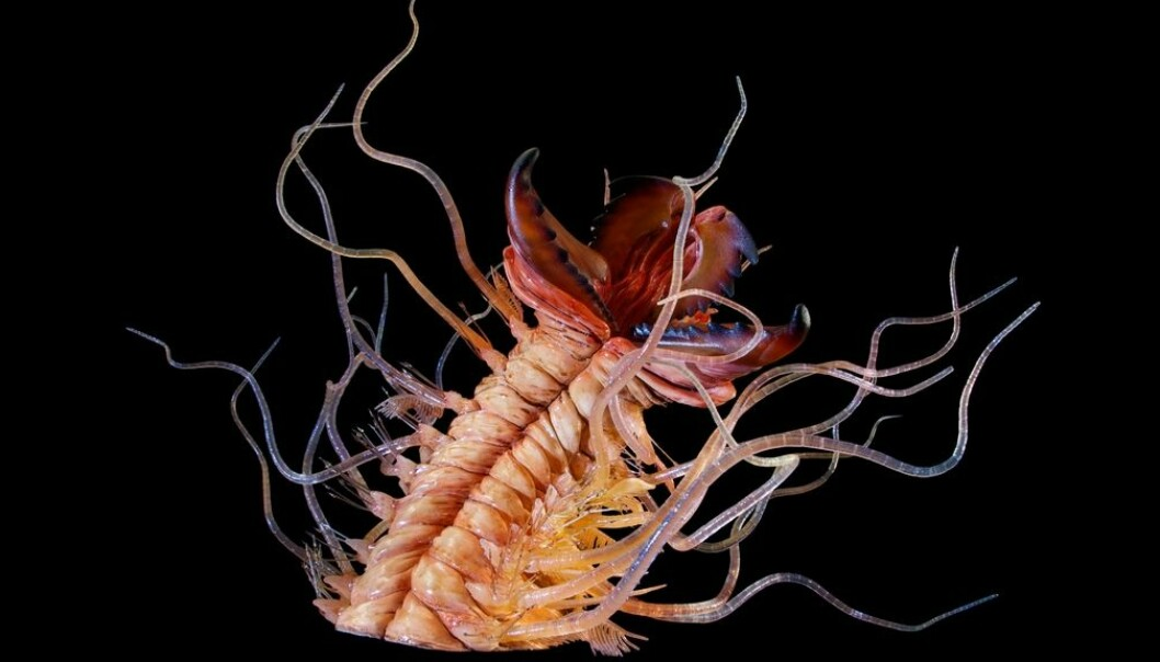 """The polychaete annelid worm Kalloprion Kilmisteri, named for Lemmy Kilmister in the rock group """"Motorhead"""". This reconstruction has been scaled up significantly from the real animal, which lived hundreds of millions of years ago. (Photo: Geomuseum Faxe)"""