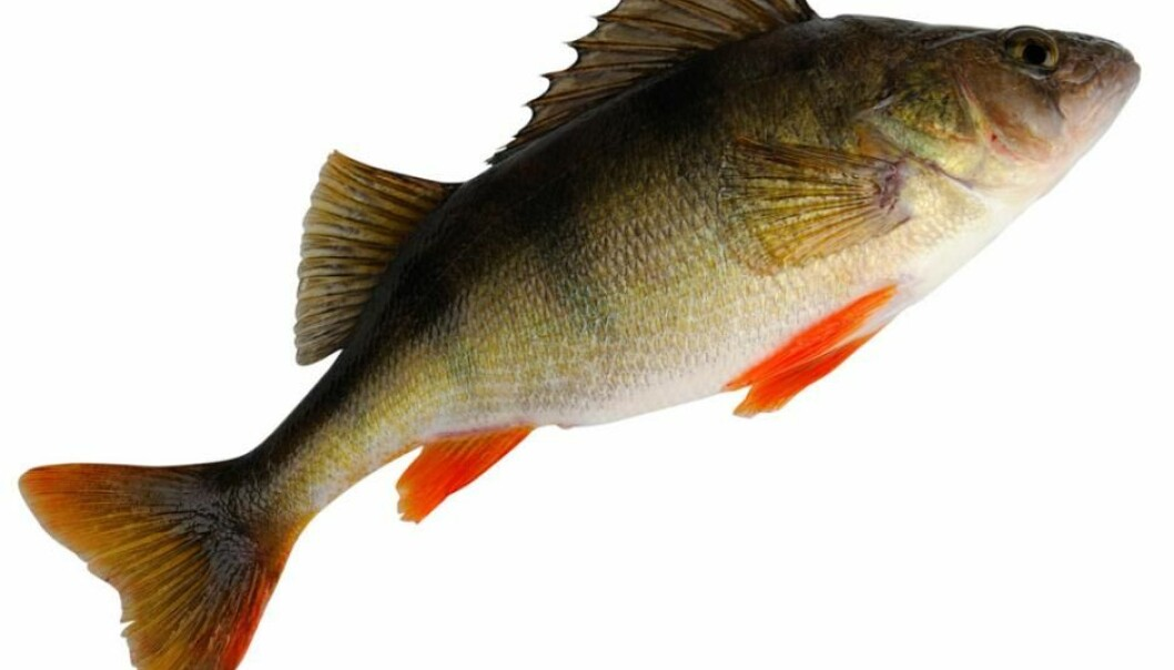 Perch living in water that was contaminated with anti-anxiety drugs survived better than ones living in clean water, according to Swedish research. (Illustrative photo: Microstock)