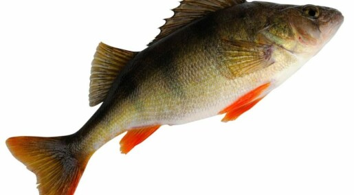 Fish in drug-tainted water see some benefits