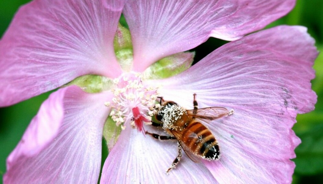 The scientists have conducted a genome sequence of the bees.  (Photo: Matthew Webster)