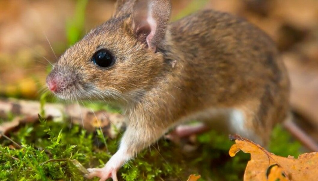 The yellow-necked field mouse (Apodemus flavicollis) can grow to a length of 10-12 cm. It resembles the wood mouse but its body is larger and it sports a longer tail. It can easily weigh 50 grams. (Photo: Microstock)