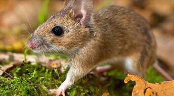 Mice population explodes
