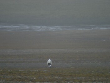 Eigil Reimers sneaking up on the reindeer disguised as a polar bear. (Photo: M. Kardel