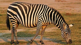 Zebras attracted to lethal anthrax grass