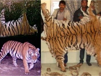 Investigation of poaching is based on forensics, camera trapping and digital image analysis. Seized tiger skin from the town of Najibabad (Northern India) and accompanying camera trap images from the southeastern boundary of the Rajaji National park. Photo © Wildlife Institute of India (WII)