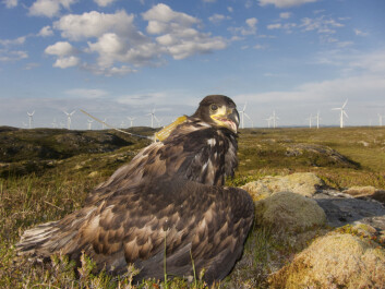 Using satellite senders, researchers can follow the travels of young sea eagles and map out exactly where they move. (Photo: Espen Lie Dahl)