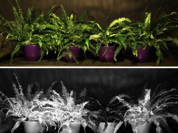 Above: Which plant is artificial? In visible light they look the same. Below: Bathed in a special red colour the artificial plant reveals itself. (Photo: Torbjørn Skauli, FFI)