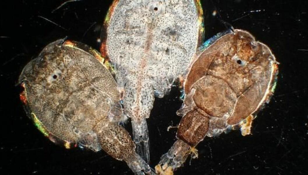 Salmon lice (Photo: Karin Kroon Boxaspen)