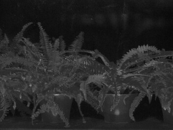 A digital analysis of the hyperspectral image makes the camouflaged Lego figure light up. (Photo: Torbjørn Skauli, FFI)