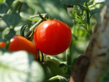 Could cherry tomatoes be candidates for space salads and lasagnes? (Photo: JS/Creative commons)