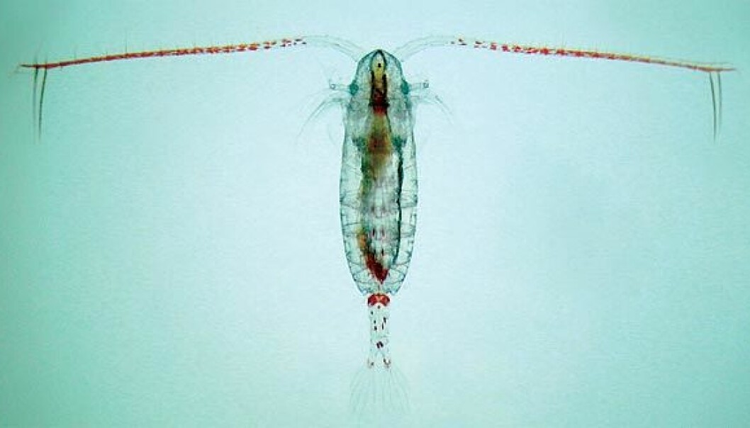 This little guy stores solar energy by consuming phytoplankton. Researchers have been studying Calanus finmarchius for two generations, over the course of 136 days. They've considered two possible future scenarios that are based on prognosis from the UN climate report. (Photo: Paul Wassman)
