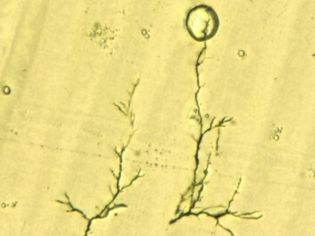 """This is what an """"electrical tree"""" looks like in the microscope. (Photo: SINTEF)"""