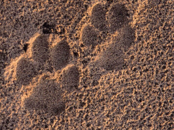 Tracks of a wolf in Germany (Photo: John Linnell, The Norwegian Institute for Nature Research)