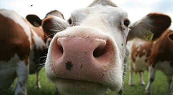Rounding up a cattle virus in human noses