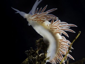 They look delicate and innocent, but nudibranchs have developed ingenious defense mechanisms. (Photo: Per Harald Olsen / NTNU)