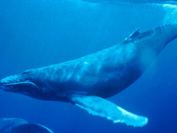 No other mammal on Earth migrates as far as the humpback whale. The remarkable animals can swim up to 25,000 kilometres per year.  (Photo: Wikipedia)