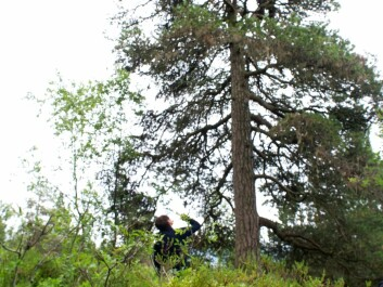 The white-tailed eagle parents have chosen a nesting place with a good view, in the highest pine. Here, the first young eagle has already been brought down, while Johnsen is moving up in the tree to get the other one. (Photo: Ingun A. Mæhlum)