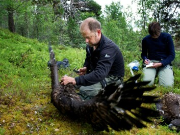 These white-tailed eagle young are almost fully grown and not very happy about being measured and weighed by the researchers. The largest white-tailed eagles can be a metre long and have a wingspan of up to 265 cm. They are northern Europe's largest bird of prey. (Photo: Ingun A. Mæhlum)