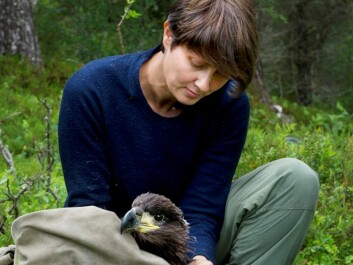 Sletten is careful to handle the young birds as gently as possible as the researchers work with them. (Photo: Ingun A. Mæhlum)