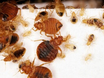 Call in the professionals if you think you have a bedbug infestation in your home, says Bjørn Arne Rukke (Photo: Science Photo Library/Scanpix)