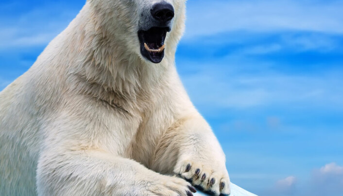 Chemical pollution is causing polar bear penises to break