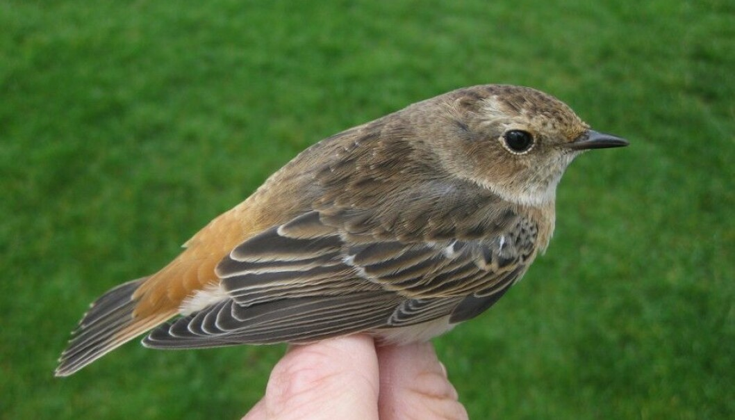"""The bird turned out to be a mix between a common redstart, Phoenicurus phoenicurus and a whinchat, Saxicola rubetra. It was quickly given the unofficial name rødskvett (""""redchat""""), which is a mix of its two Norwegian common names. Now Røer hopes to find a mix of a Dartford warbler and a whinchat. But the odds are against it – for one thing, the Dartford warbler doesn't actually nest in the area. (Photo: Jonas Langbråten, Lista Bird Observatory)"""