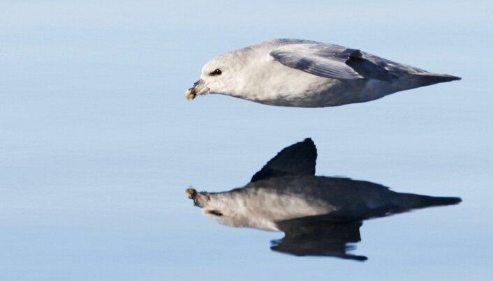 Nine of ten fulmars have plastic in their stomachs