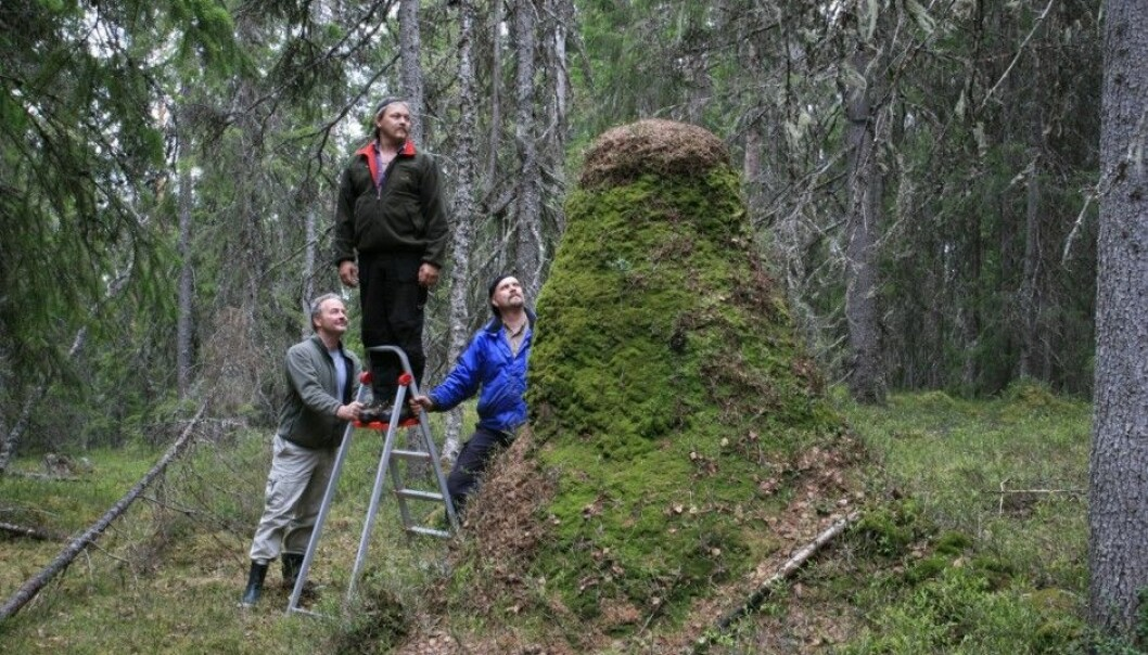 Norway's highest anthill is 238 cm and is found in Hedmark county. Kvamme is on the left. (Photo: Oskar Puschmann, Norwegian Forest and Landscape Institute)