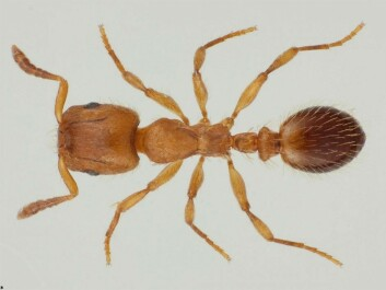 The robber ant is one of three ant species in Norway that keep slaves. (Photo: Karsten Sund, NTH)