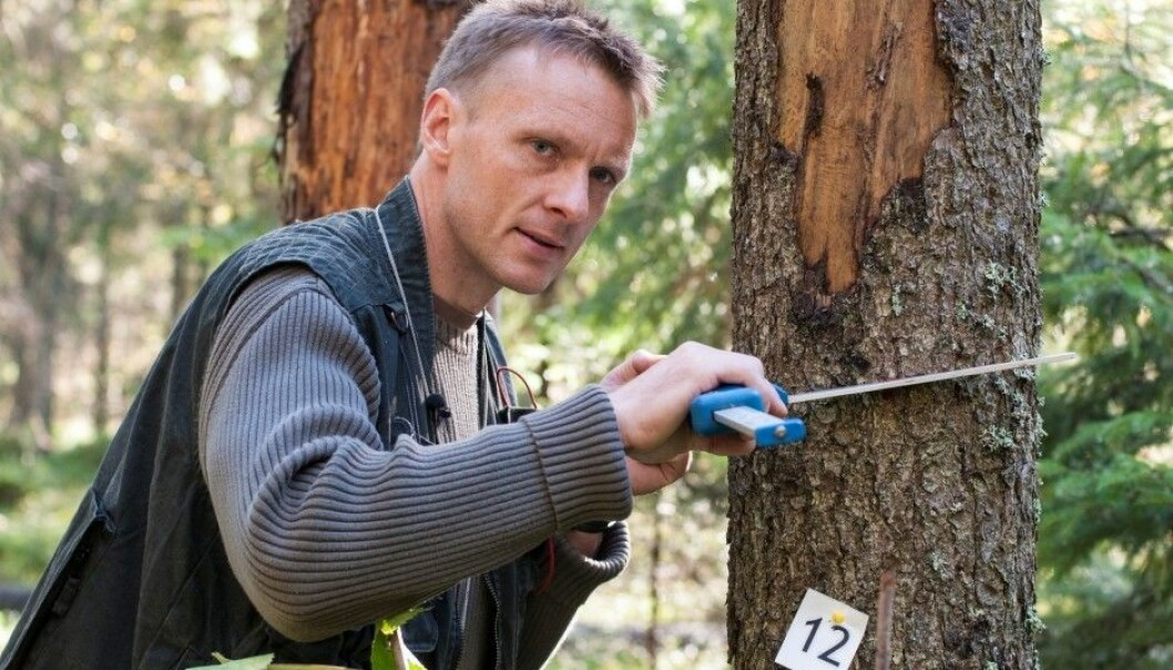 Knut Ole Viken uses a calliper to measure the trunk diameter. A tree is defined as greater than 5 centimetres at chest height. (Photo: Lars Sandved Dalen, Norwegian Forest and Landscape Institute)